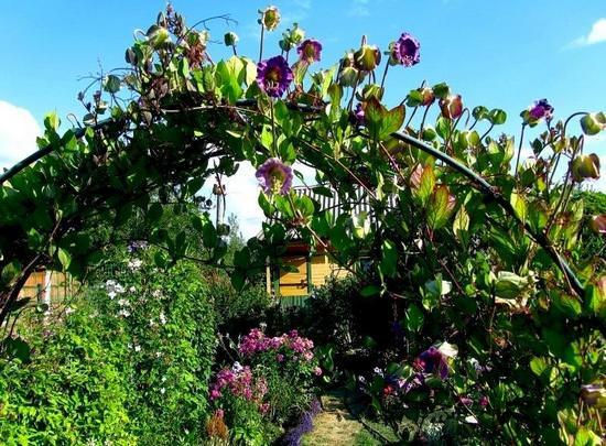 Технология выращивания прекрасной кобеи лазающей