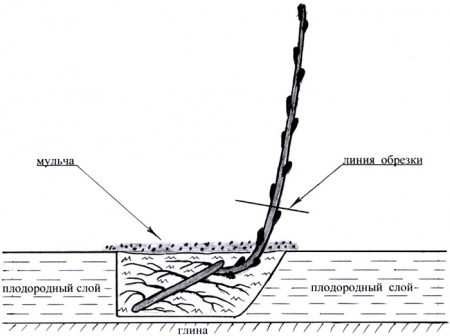 Красная смородина: лучшие сорта, технология посадки и ухода
