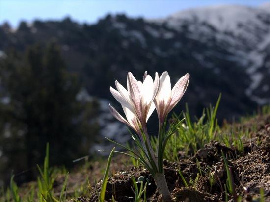 Крокусы: описание видов и сортов, технология выращивания в открытом грунте