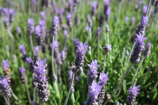 Лаванда: разнообразие видов и особенности выращивания