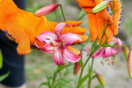 Лилии после цветения: обрезка, выкопка и другие способы подготовки к зимовке