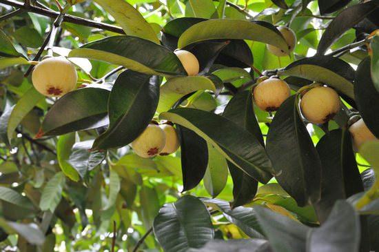 Вкусный и полезный экзотический мангустин