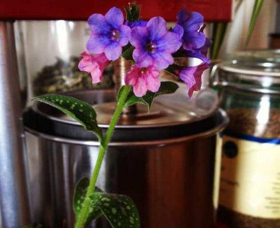 Медуница лекарственная: декоративность и целебные свойства растения