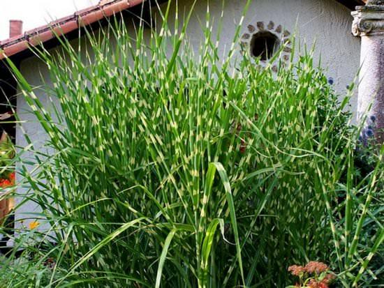 Неприхотливый и прекрасный мискантус в саду
