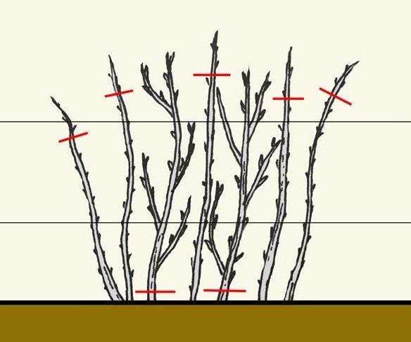 Особенности посадки малины осенью и ухода за кустарниками перед зимой