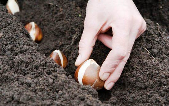 Оптимальные сроки и технология посадки тюльпанов осенью