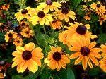 Рудбекия многолетняя - солнышко в вашем саду