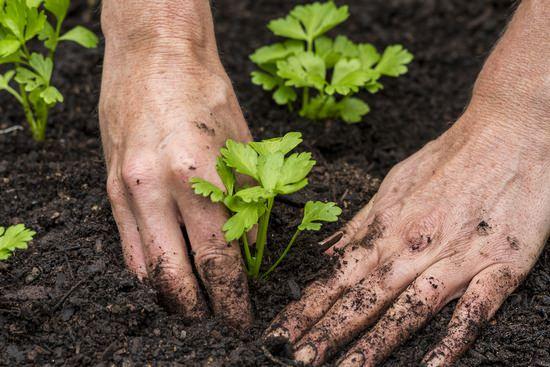 Сельдерей: характеристика видов и правила агротехники