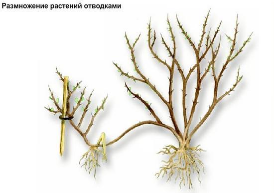 Описание видов и лечебные свойства снежноягодника