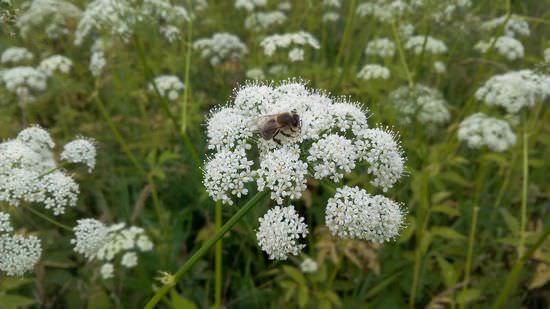 Сныть обыкновенная: описание и лечебные свойства растения