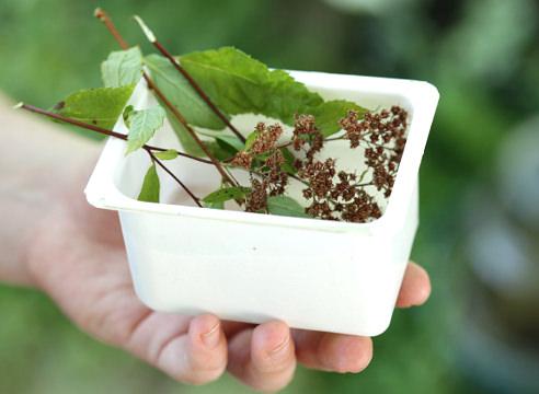 Выращивание спиреи в открытом грунте: выбор сорта, посадка и уход