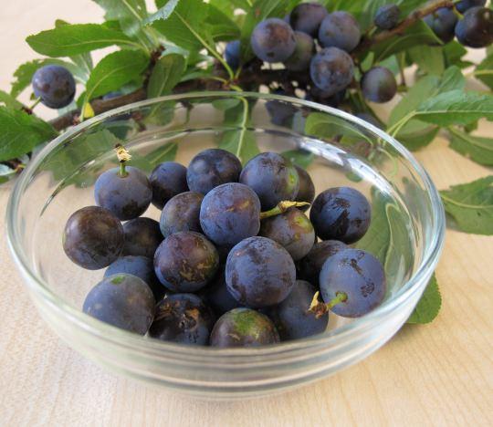 Терновый куст: полезные свойства ягод и противопоказания к употреблению