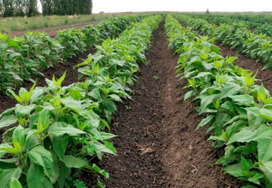 Топинамбур: технология выращивания и правила хранения иерусалимского артишока