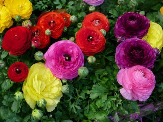 Лютики садовые: описание видов и особенности агротехники