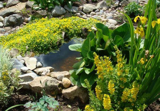Виды вербейника и особенности их выращивания в саду