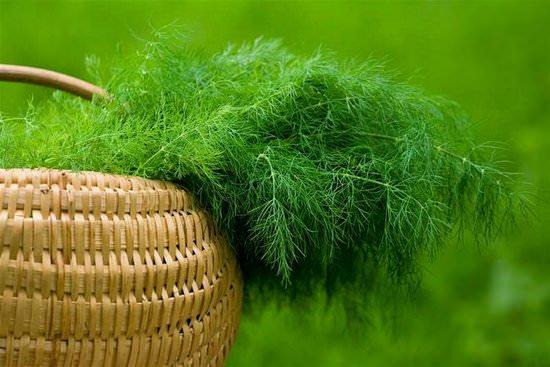 Ароматный укроп: польза и применение растения