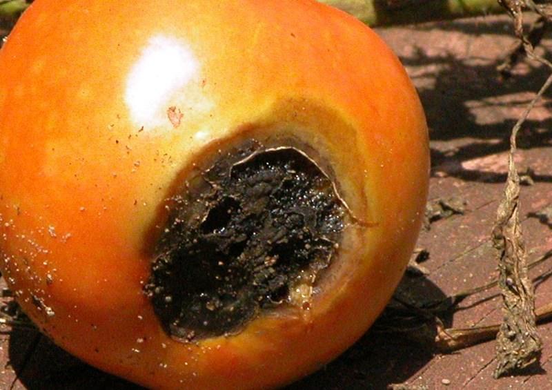Почему чернеют плоды помидоров: описание причин