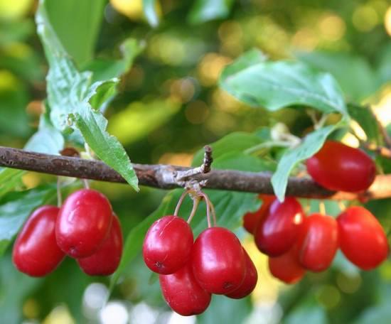 Кизил обыкновенный: особенности посадки и выращивания в Беларуси, Украине и Подмосковье