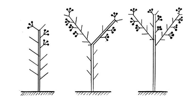 Основные правила формирования куста томата