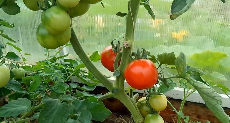 Правильное формирование куста томатов в теплице