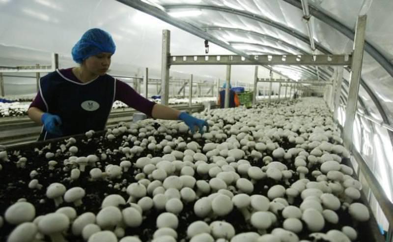 Самостоятельное выращивание грибов как бизнес-идея - отзывы
