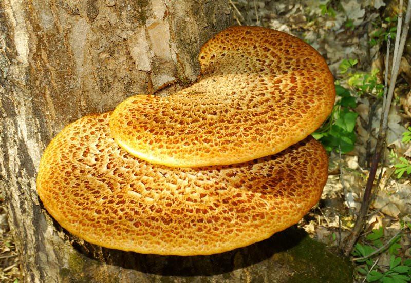 Виды грибов, растущих на орехе: описание и характеристики