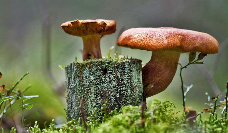 грибы съедобные растущие на пнях фото