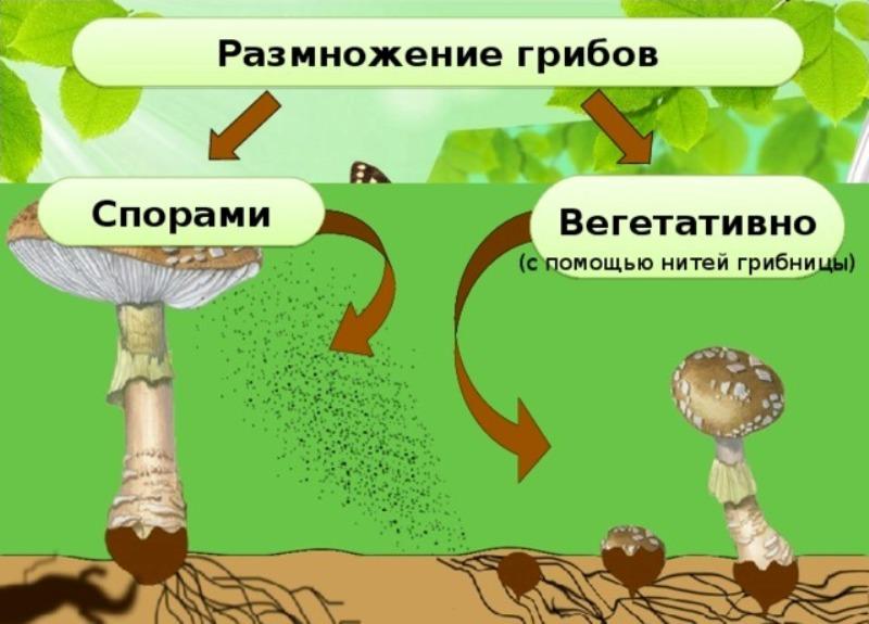Виды грибов, размножающиеся почкованием