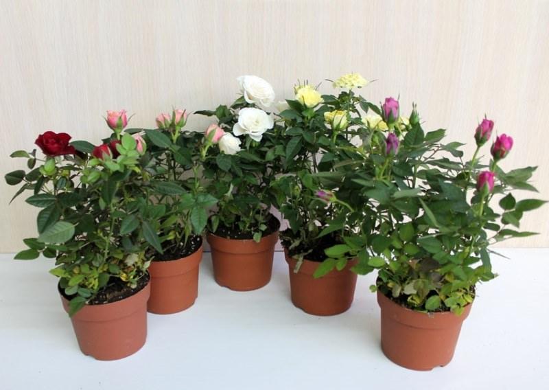 Нежная и эффектная комнатная роза: выращивание и уход