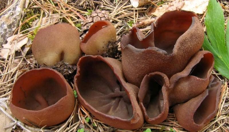 Виды коричневых грибов