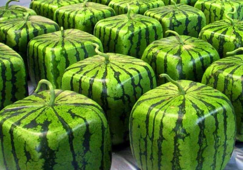 Особенности выращивания квадратных арбузов