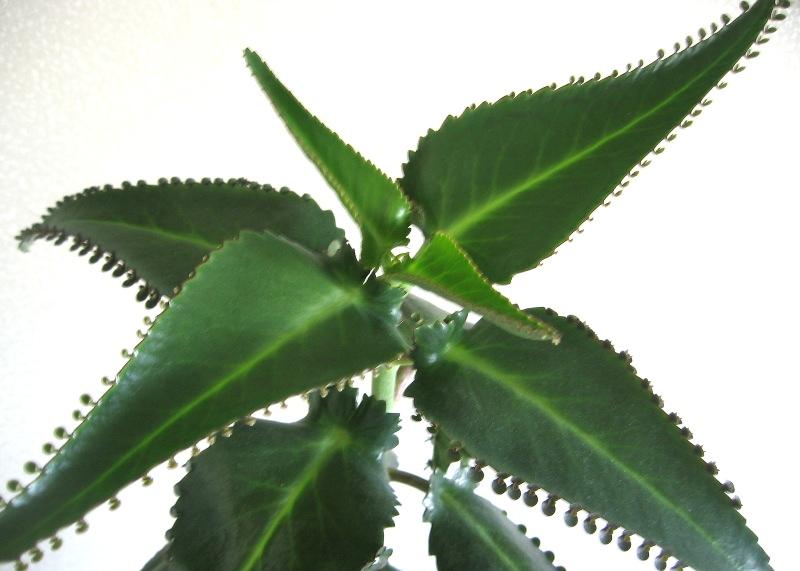 Чем полезно лечебное каланхоэ и методы его выращивания?