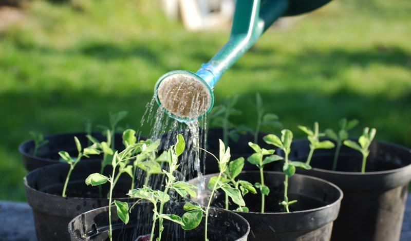 Правила полива помидоров раствором марганцовки
