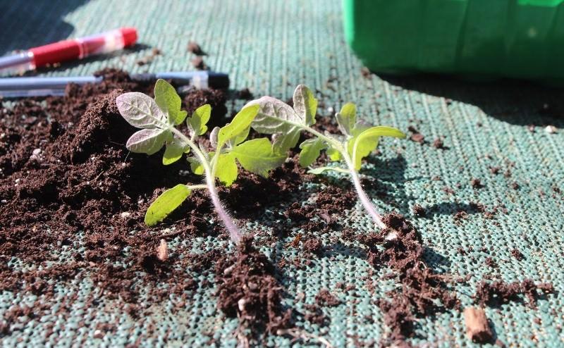 Пикировка рассады томатов разными способами