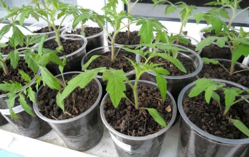 Технология подкормки рассады помидоров в домашних условиях
