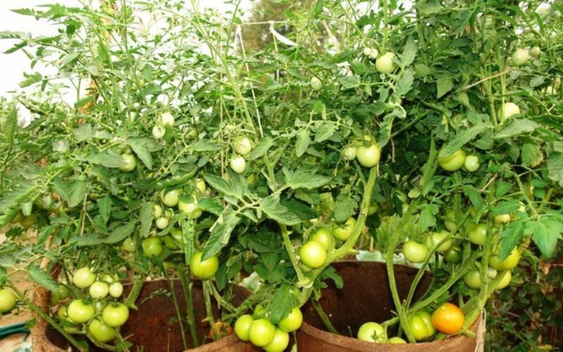 Описание процесса выращивания помидоров в бочках