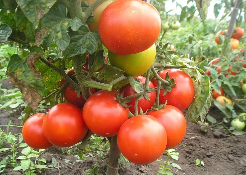 Самые лучшие сорта томатов