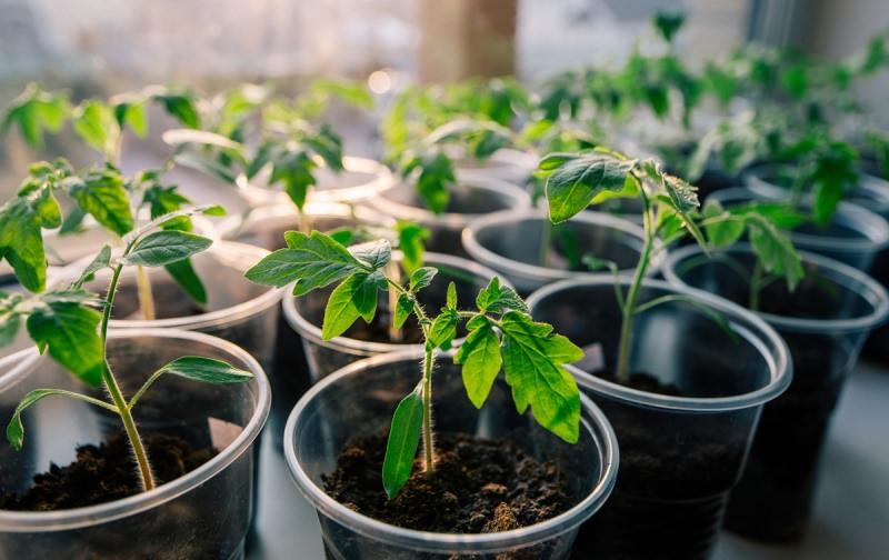 Почему рассада помидоров плохо растет после пикировки