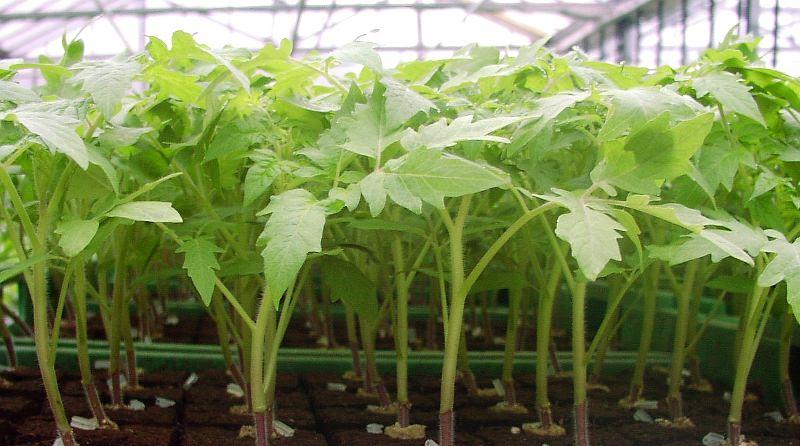 Оптимальный температурный режим для рассады помидоров