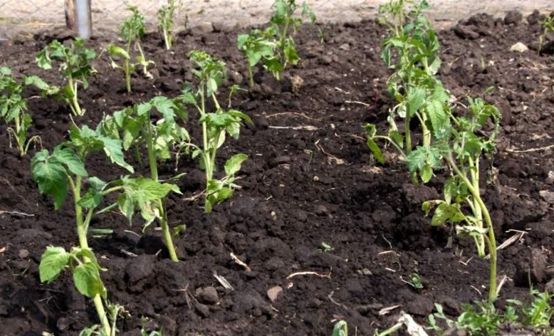 Причины плохого роста помидоров после пересадки