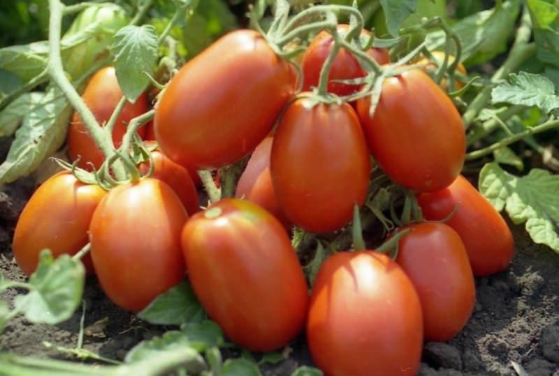 Характеристика томата Рио Гранде