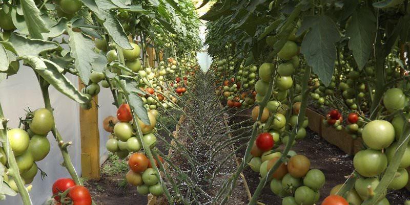 Как сделать шпалеры для помидор?