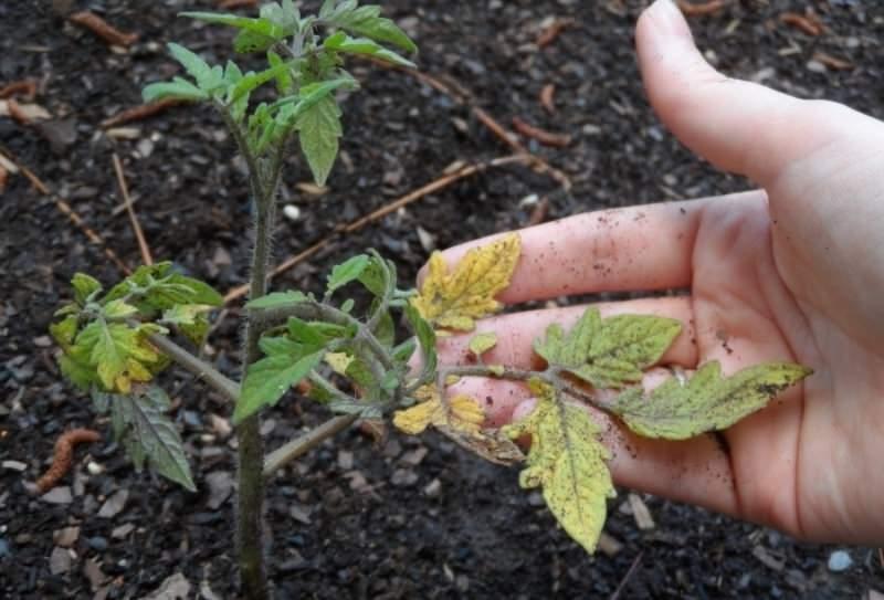 Как спасти рассаду помидоров от увядания: эффективные меры
