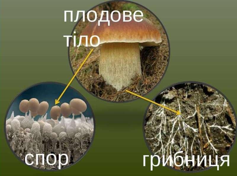 Мицелий и споры грибов: описание и назначение