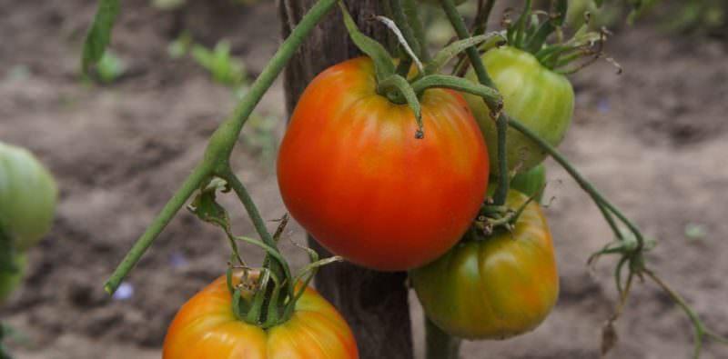 Характеристики и описание томата Андреевский сюрприз: отзывы огородников