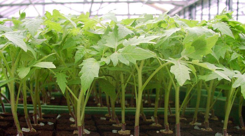 Характеристика и описание сорта томатов Чудо земли