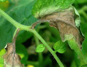 Причины и профилактика появления пятен на листьях помидоров