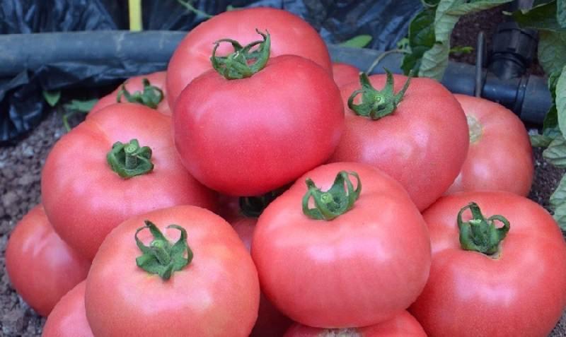 Самые урожайные томаты: отзывы и фото