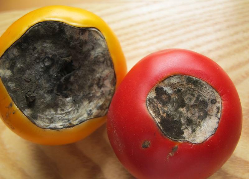 Вершинная гниль помидоров: причины возникновения и лечение