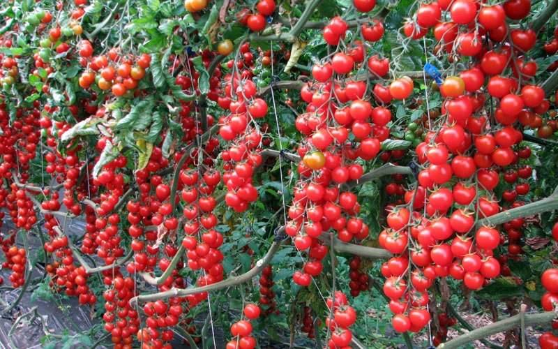 вишня красная томат отзывы фото